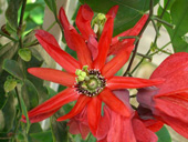 shop rote passionsblume passiflora coccinea 10 samen. Black Bedroom Furniture Sets. Home Design Ideas