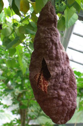 shop gespensterpflanze aristolochia littoralis syn. Black Bedroom Furniture Sets. Home Design Ideas