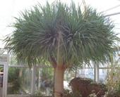 Shop drachenbaum dracaena draco 6 korn anspruchslose und pflegeleichte pflanze als - Zimmerpflanze sonnig ...